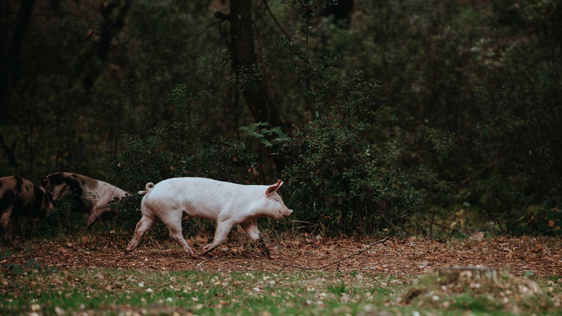 gris i det fri